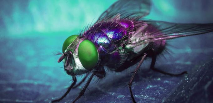 mosca-varejeira